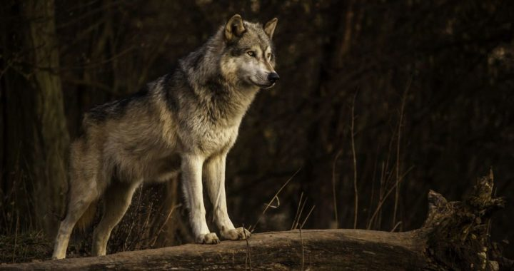 Первая трансграничная Ночь волков прошла в Беловежской пуще