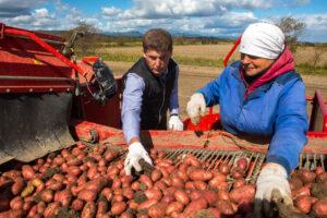 За картошкой — в «Александрию-Агро»