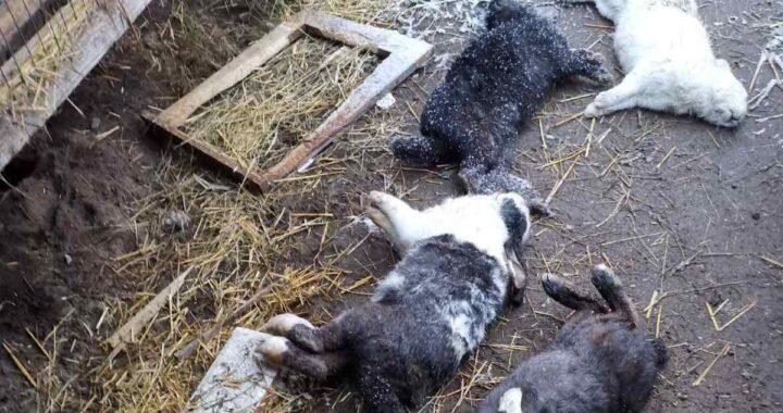 Собачий террор. В Каменецком районе объявился бродячий пес, «нацеленный» на ушастых питомцев