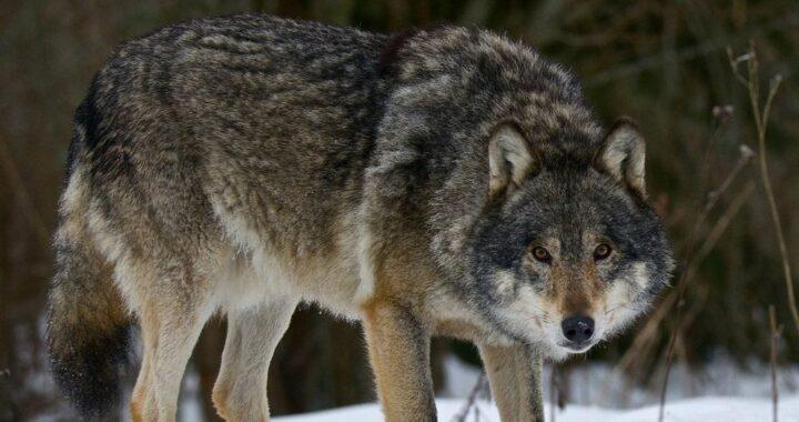 Зачем в Беловежской пуще искали волков?