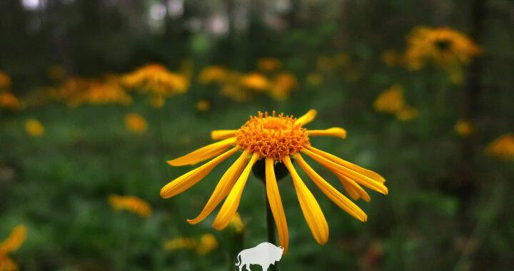 В Беловежской пуще зацвел редкий солнечный цветок