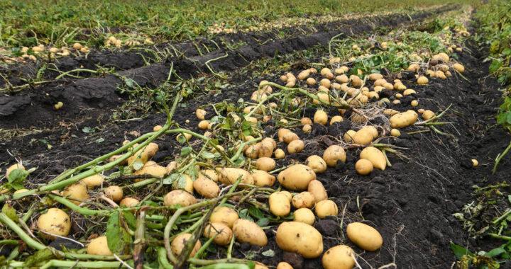 Откуда такие картофельные «качели»?